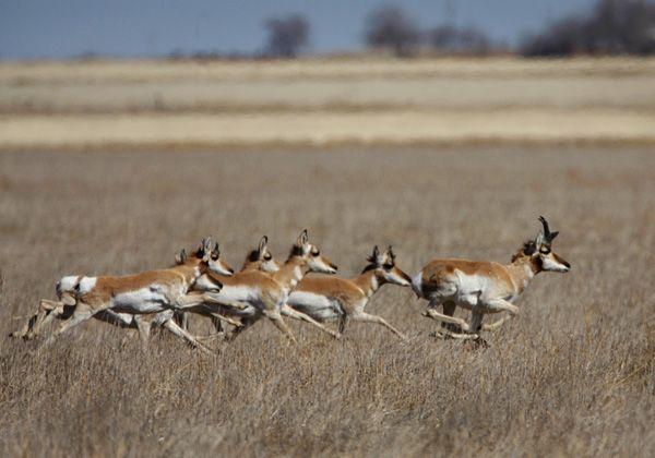 pronghorn running - Go...