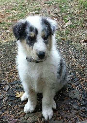 Harlequin Blue Merle Collie Cheramore Collies Hood River