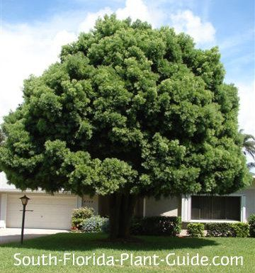 Weeping Podocarpus Tree Shade Trees Shade Plants Florida Plants