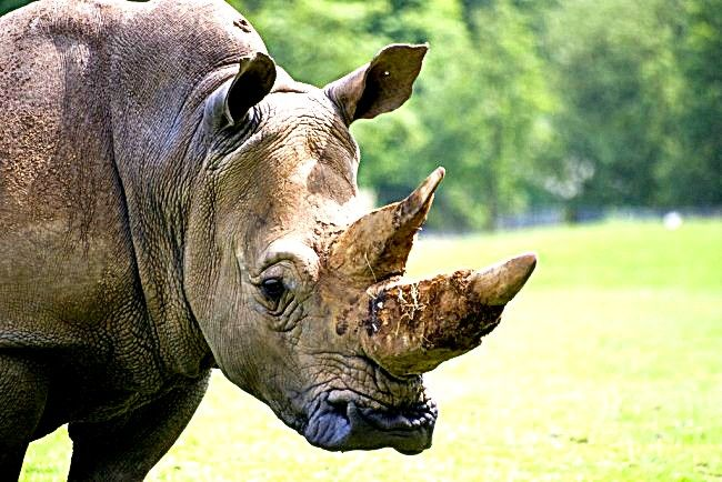 Endangered Rhinos Horns Found in Chinese Medicines :'(
