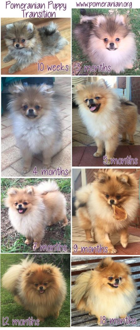 pomeranian puppy changes