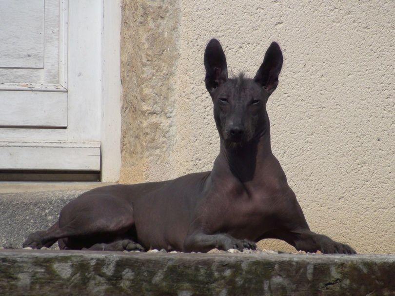 Xoloitzcuintle Hairless Dog Rare Dogs Mexican Hairless Dog