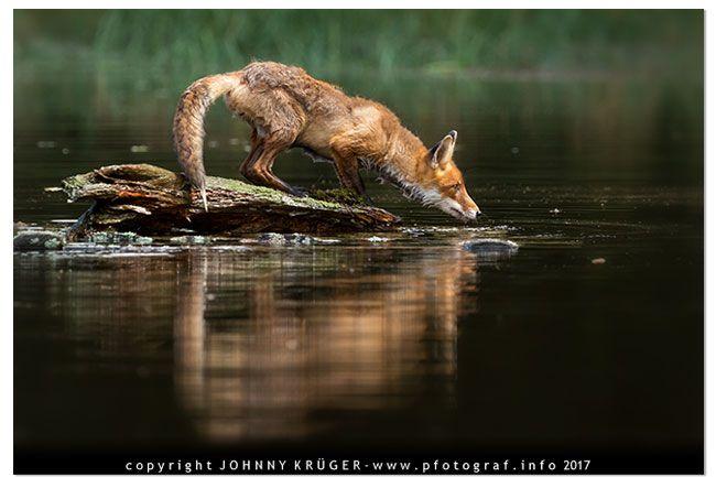 Fuchs am Teich beim Trinken