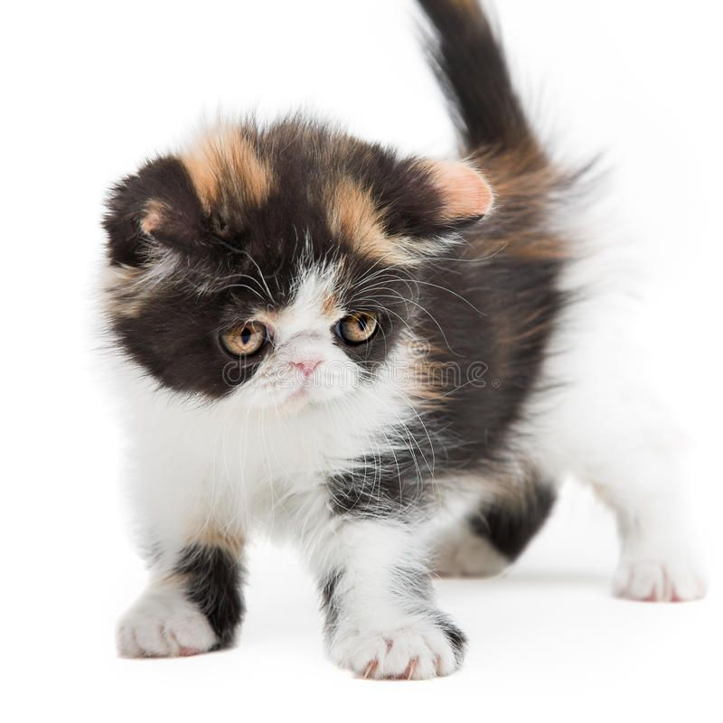 Photo About Tortoiseshell Persian Kitten Isolated On White Background Image Of Isolated Persian Black 27188434 Persian Kittens Kittens Cats