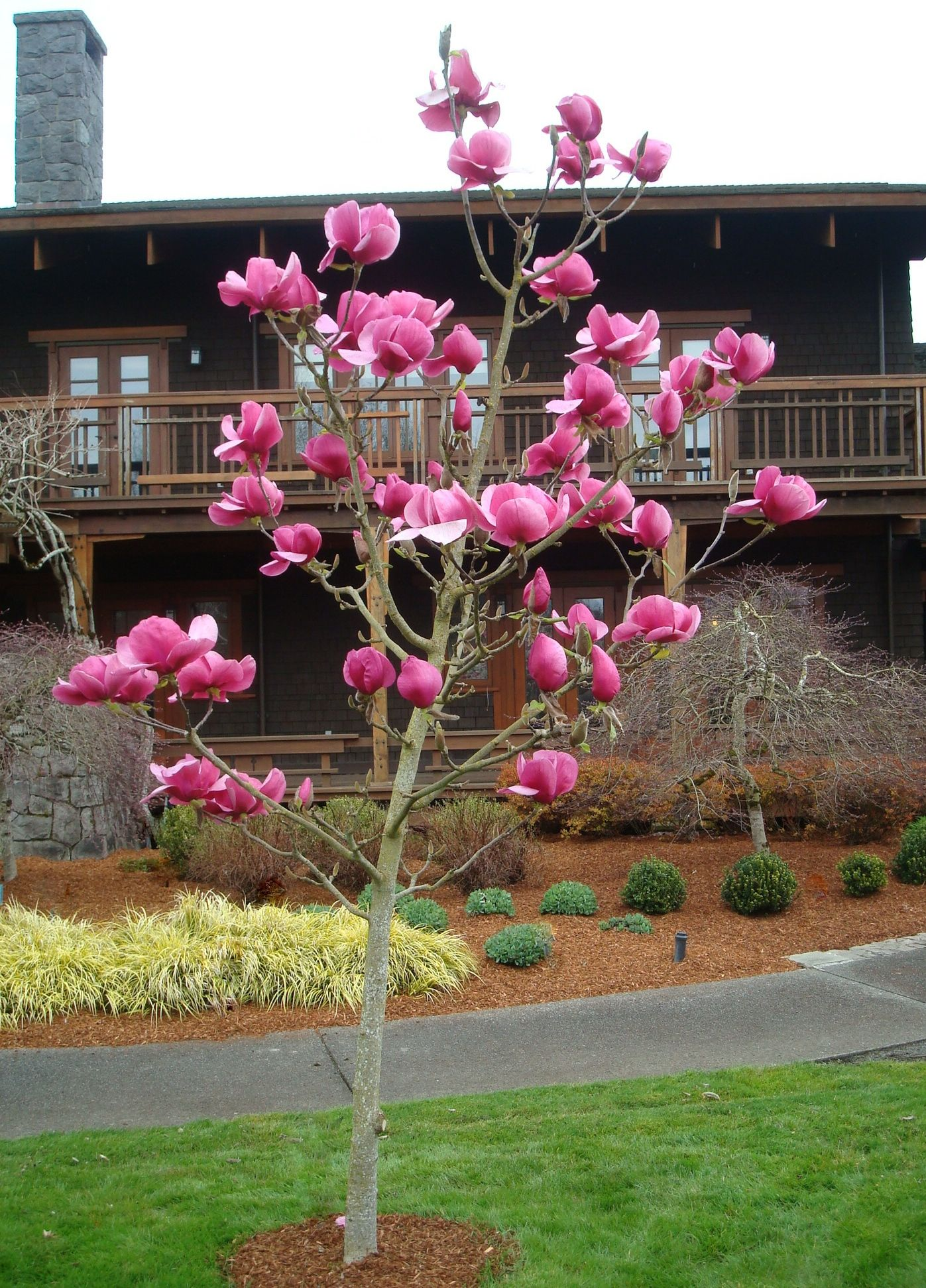 Magnificent 12 Inch Highly Fragrant Hot Pink Flowers On Felix Jury Magnolia Add Exceptional Beauty To The Early S Japanese Zen Garden Magnolia Monrovia Plants