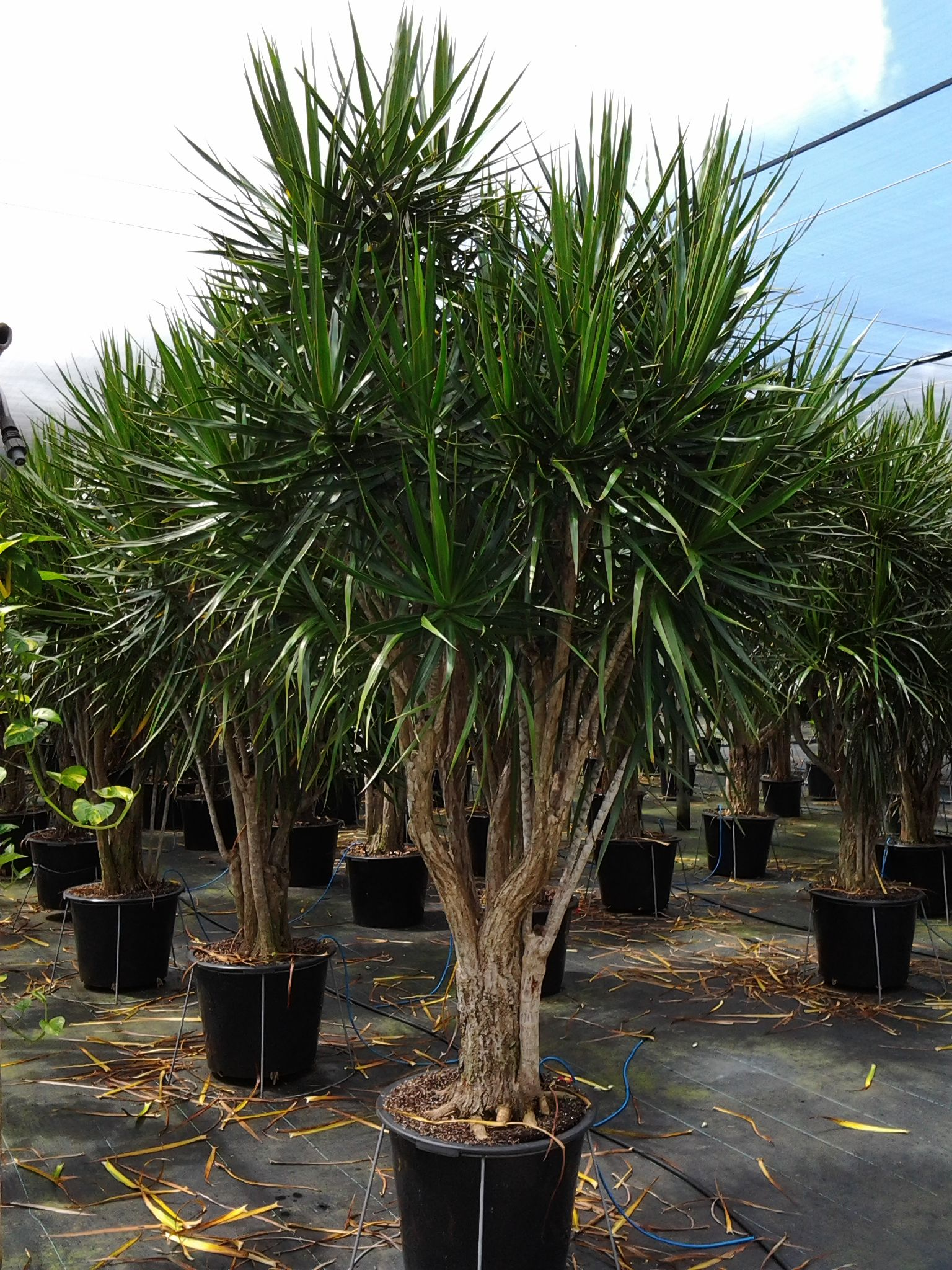 Dracaena marginata google search wanna buy pinterest for Plante dracaena