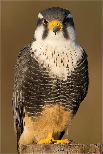 Falcon, Falcão-de-coleira (Falco femoralis) by Octavio Campos Salles, via Flickr