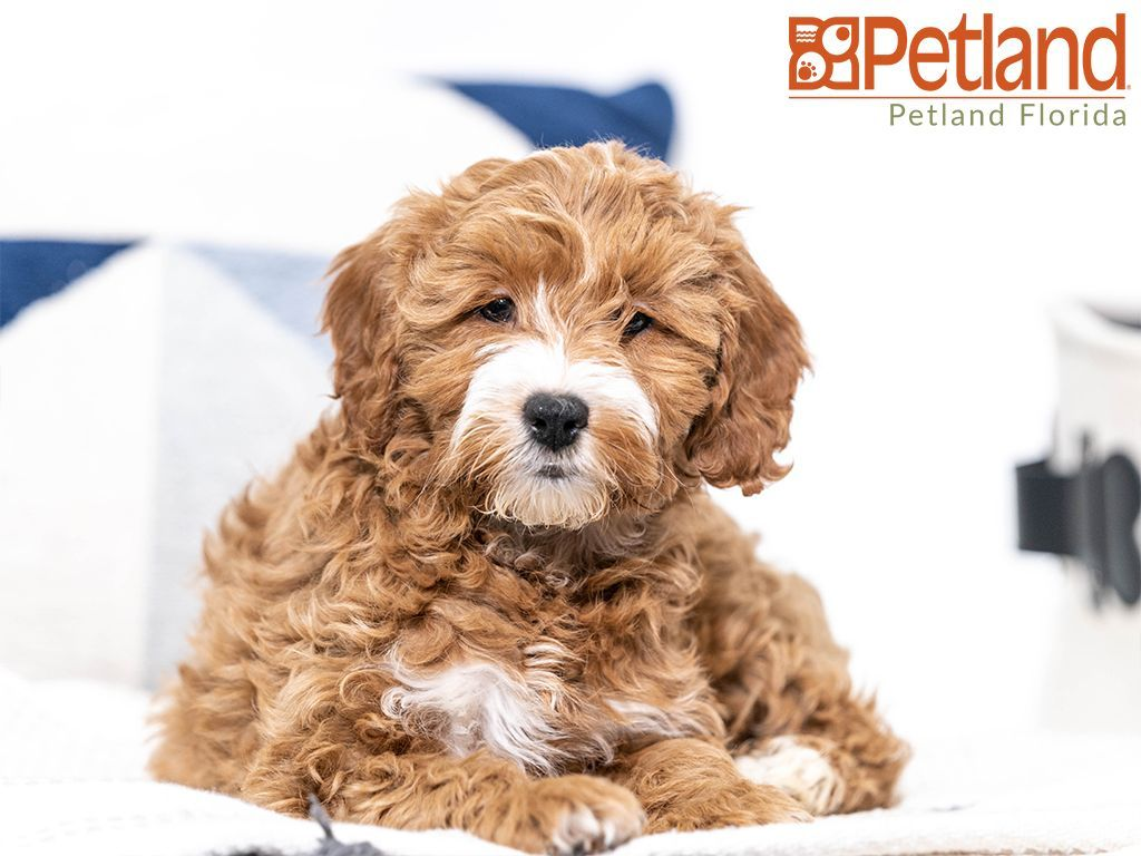 Petland Florida Has Cockapoo Puppies For Sale Check Out All Our Available Puppies Cockapoo Petlandpembr Puppy Friends Cute Dogs Cockapoo Puppies For Sale