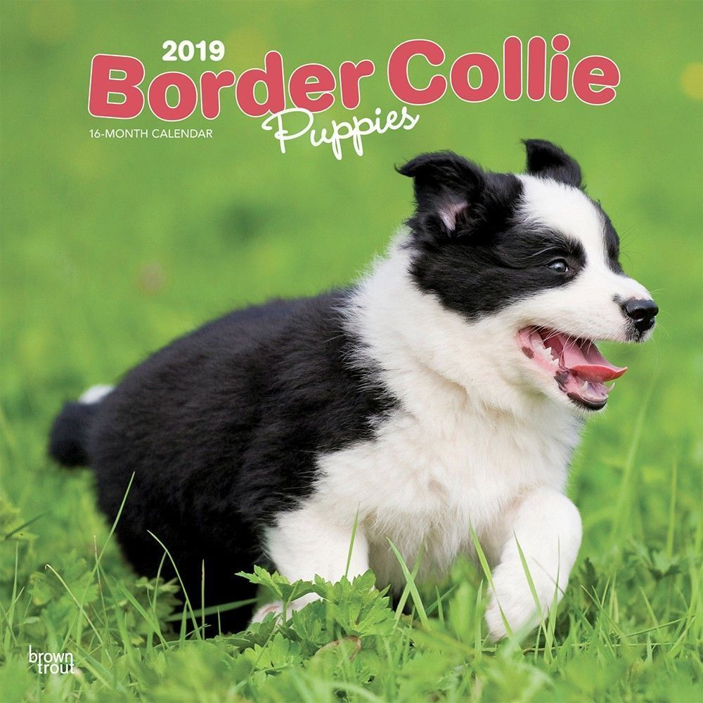 Border Collie Puppies 2019 12 X 12 Inch Monthly Square Wall
