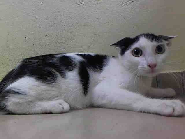 To Be Killed 10 6 Nyc Acc My Name Is Billy Id A1015245 I Am A Male White Black Kitten 13 Weeks Old Bonded Bo Cat Years Cat Rescue