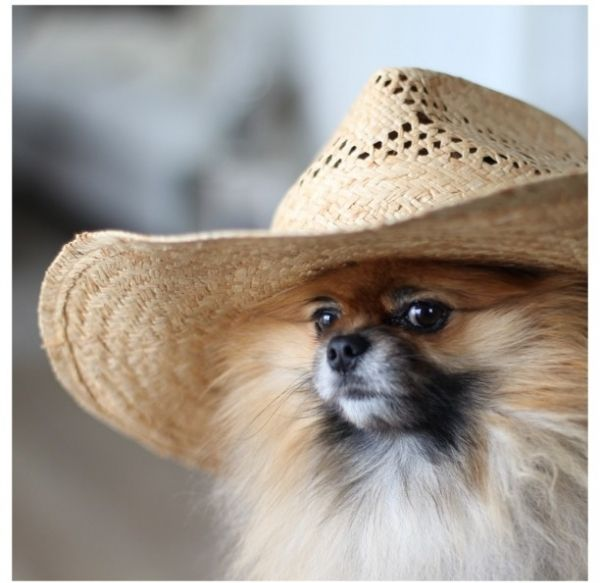 Everyone Has To Bring A Dog In A Hat Don T Own A Dog We Ll Have A Shelter On Site So You Can Borrow One Pomeranian Cute Pomeranian Pomeranian Dog