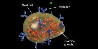 Résultats de recherche d'images pour «mast cell degranulation»