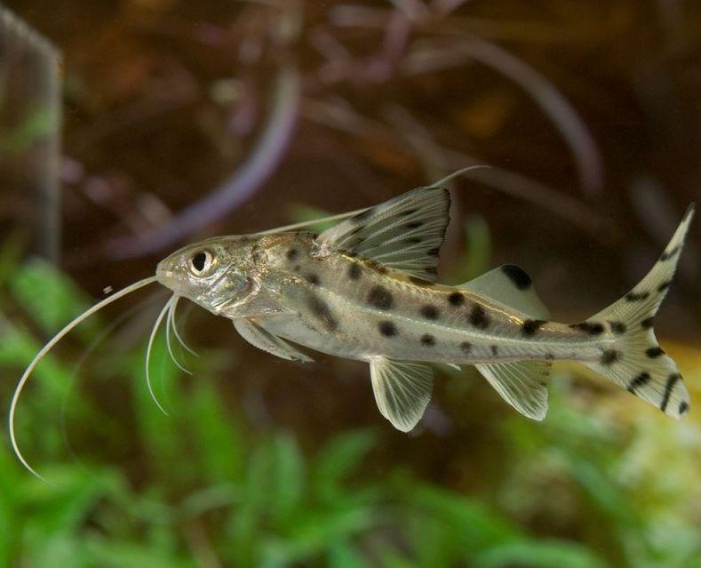 Pictus Catfish Care Size Lifespan Tankmates Feeding Freshwater Fish Aquarium Catfish Fish