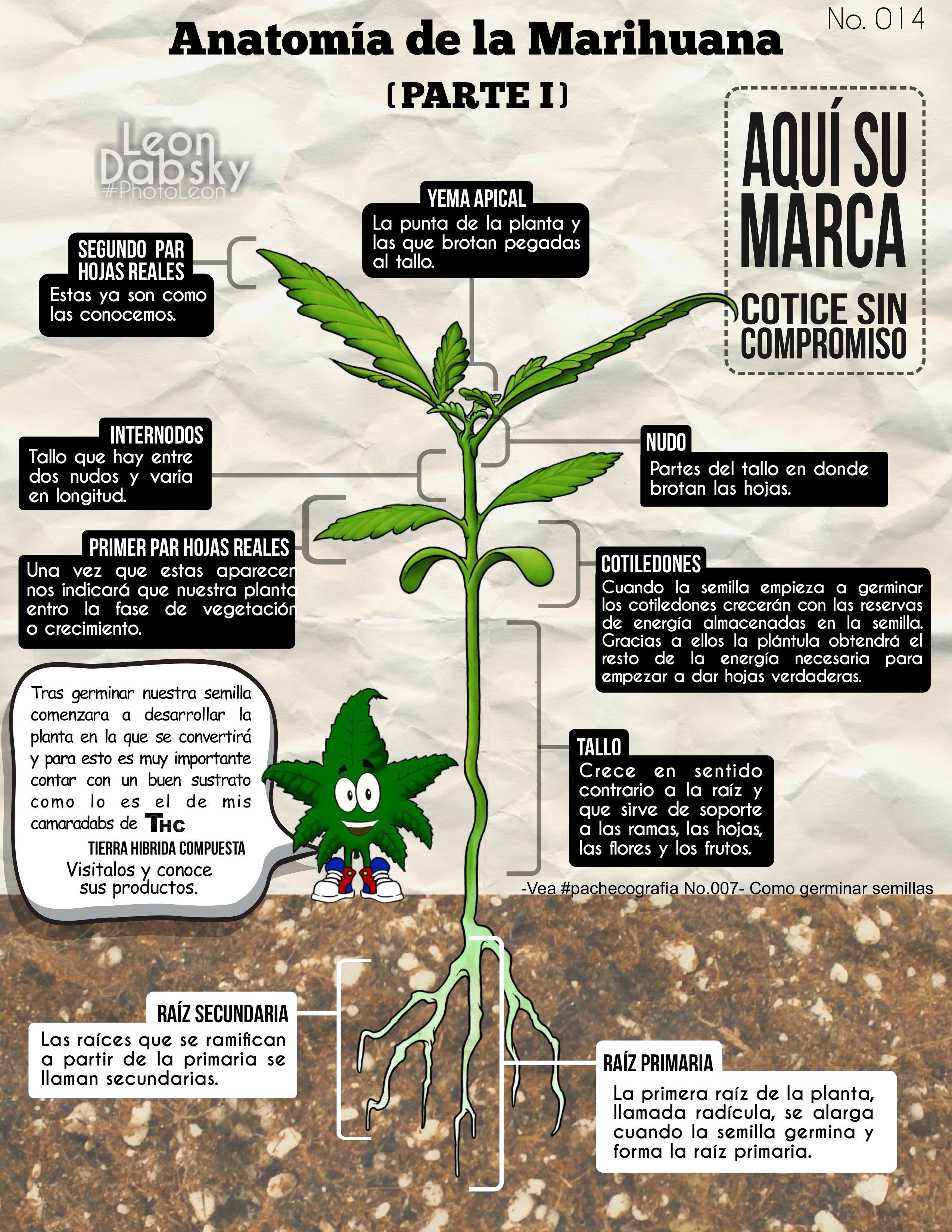 pachecografía 014 - Anatomía de la marihuana (I) | Infografías y ...