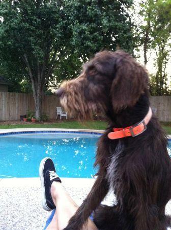Please Help Us Find Our Dog Brown Shaggy Hair Female German