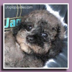 Utopia Poodles Miniature Poodle Poodle Puppies