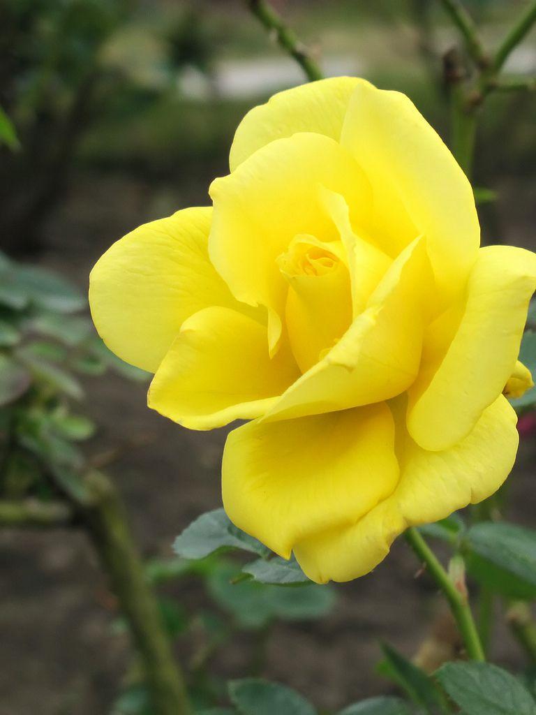 Rose Anthony Meilland バラ アンソニー メイアン | ~Roses