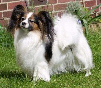 Rianna Vom Schwabenhof Nightfire Papillon Papillon Dog Cute