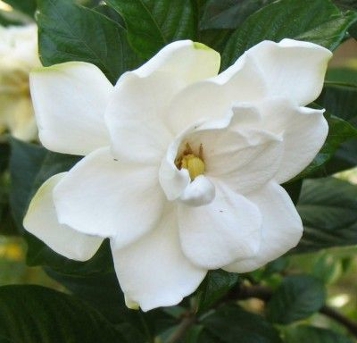 Gardenia Plant Diseases Learn About Common Gardenia Diseases