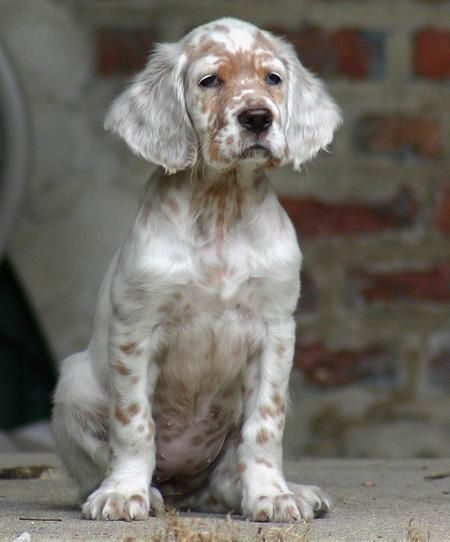 """thepaintedbench: """" English Setter Puppy """""""