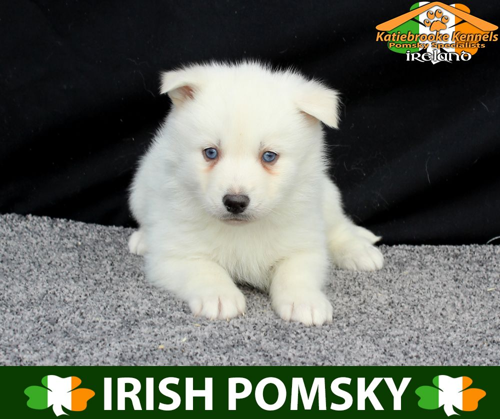 Katiebrooke Kennels Pomsky Specialists Ireland 1500 Uk 2000 Europe 2000 Usa F1b Pomsky Puppy Allison Blue Pomsky Pomsky Puppies Pomsky Puppies For Sale
