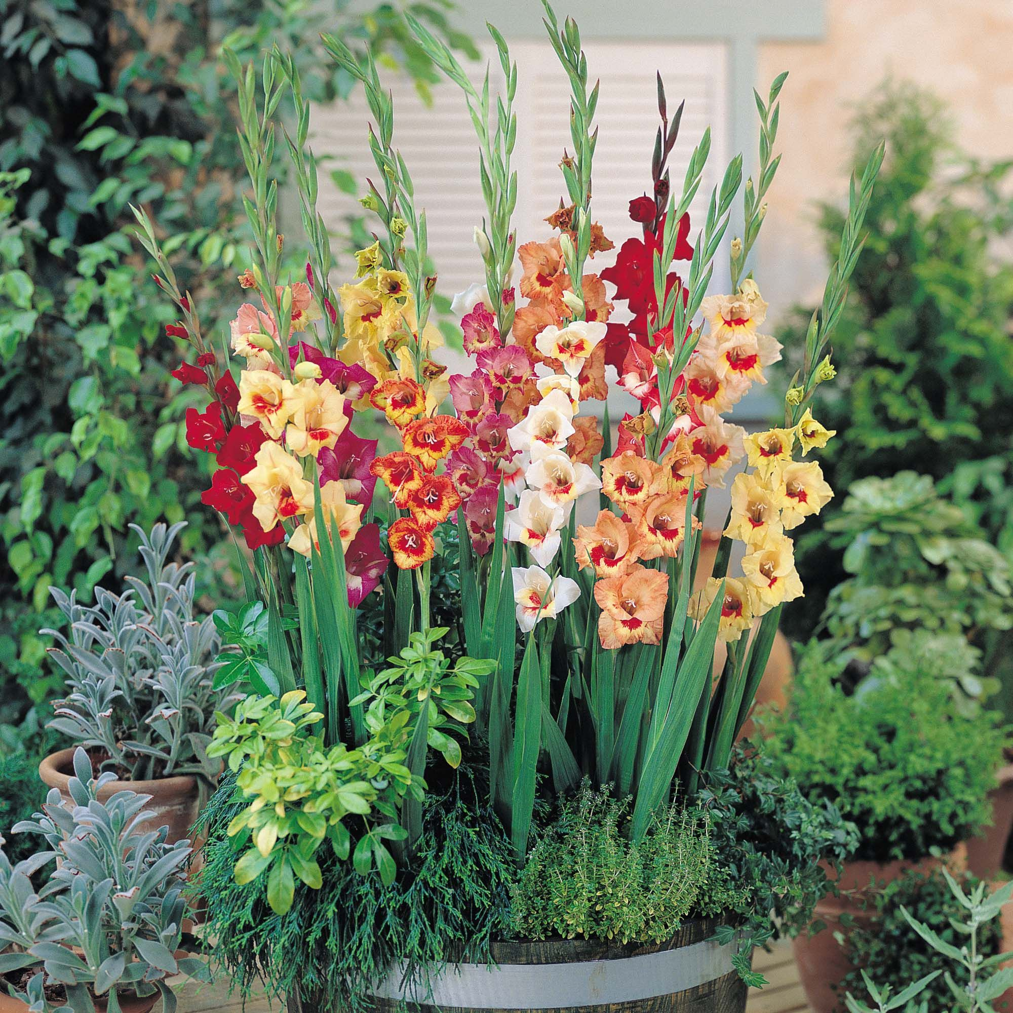 5c9df4c21a2c9a Gladiolus to symbolize strength of character, faithfulness, honor and  remembrance