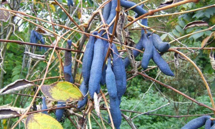 Decaisnea Fargesii Arbre Aux Haricots Bleus Arbuste Arbre Aux Faisans Petites Fleurs Jaunes