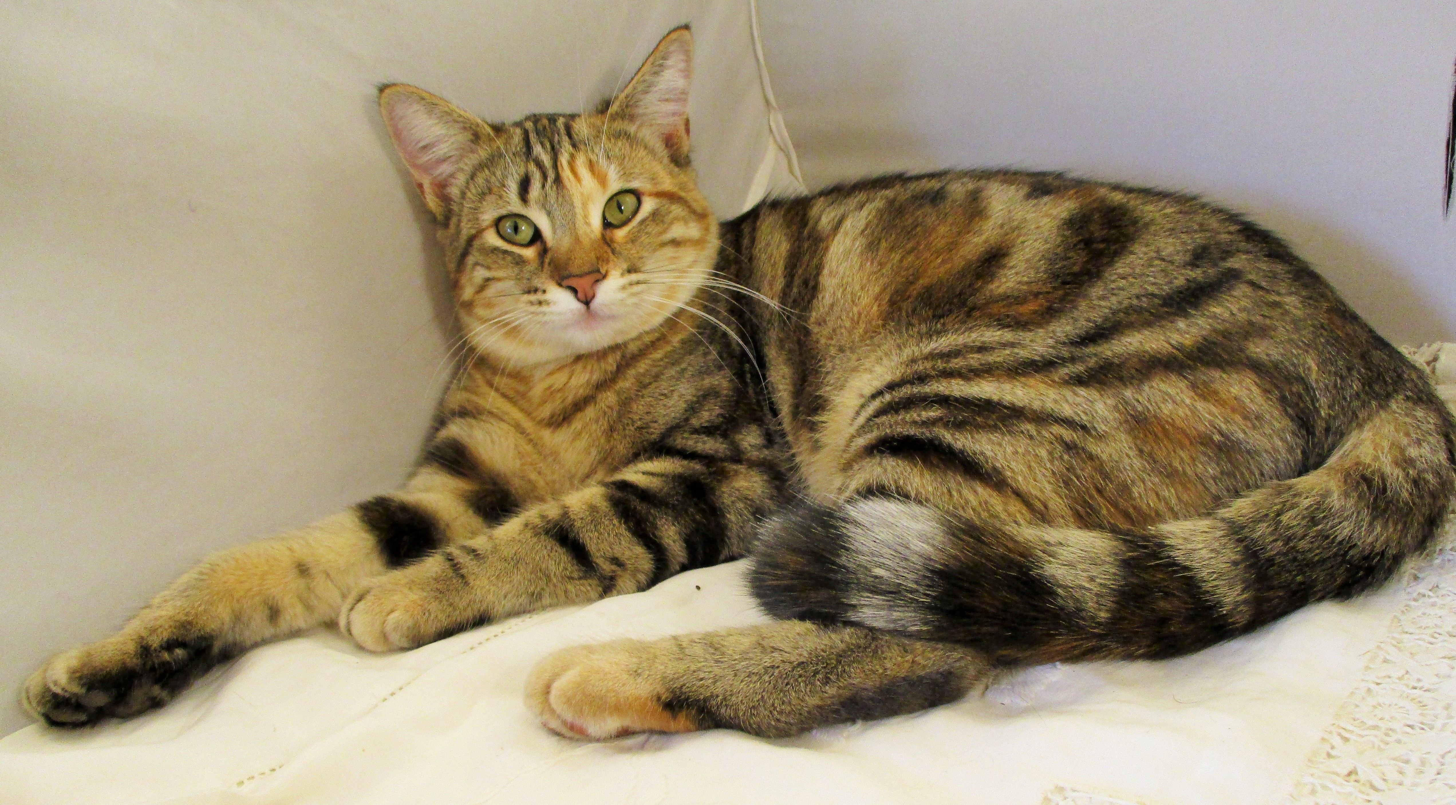 My Calico Bengal Mix Rescue Cat 1 Year Old Bengal Kittens For Sale Bengal Cat Calico Kitten