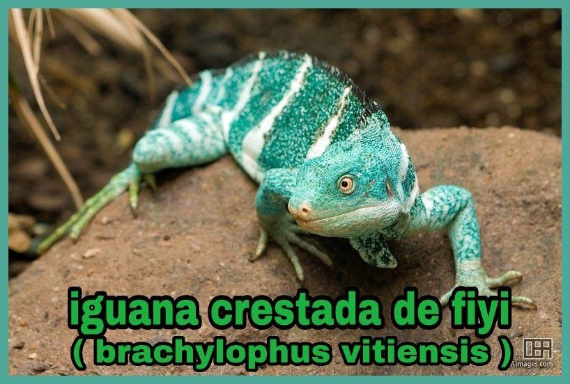 Reptiles Iguanidae Iguania Brachylophus Vitiensis Reptiles Iguana Fiyi