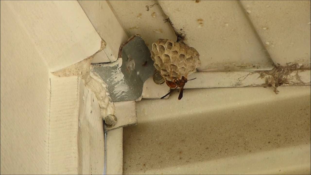cooking with a paper wasp