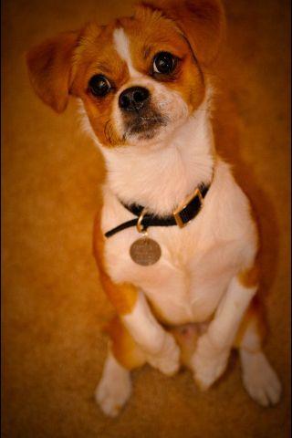 Pika Pekingese Chihuahua Mix Chihuahua Mix Dogs And Puppies Mixed Breed