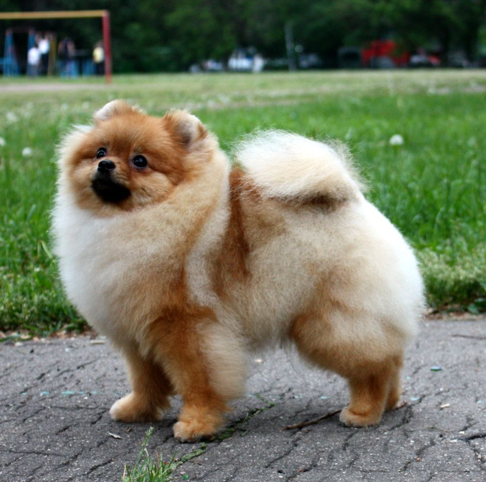 Such a furry breed The Pomeranian just makes you want to cuddle