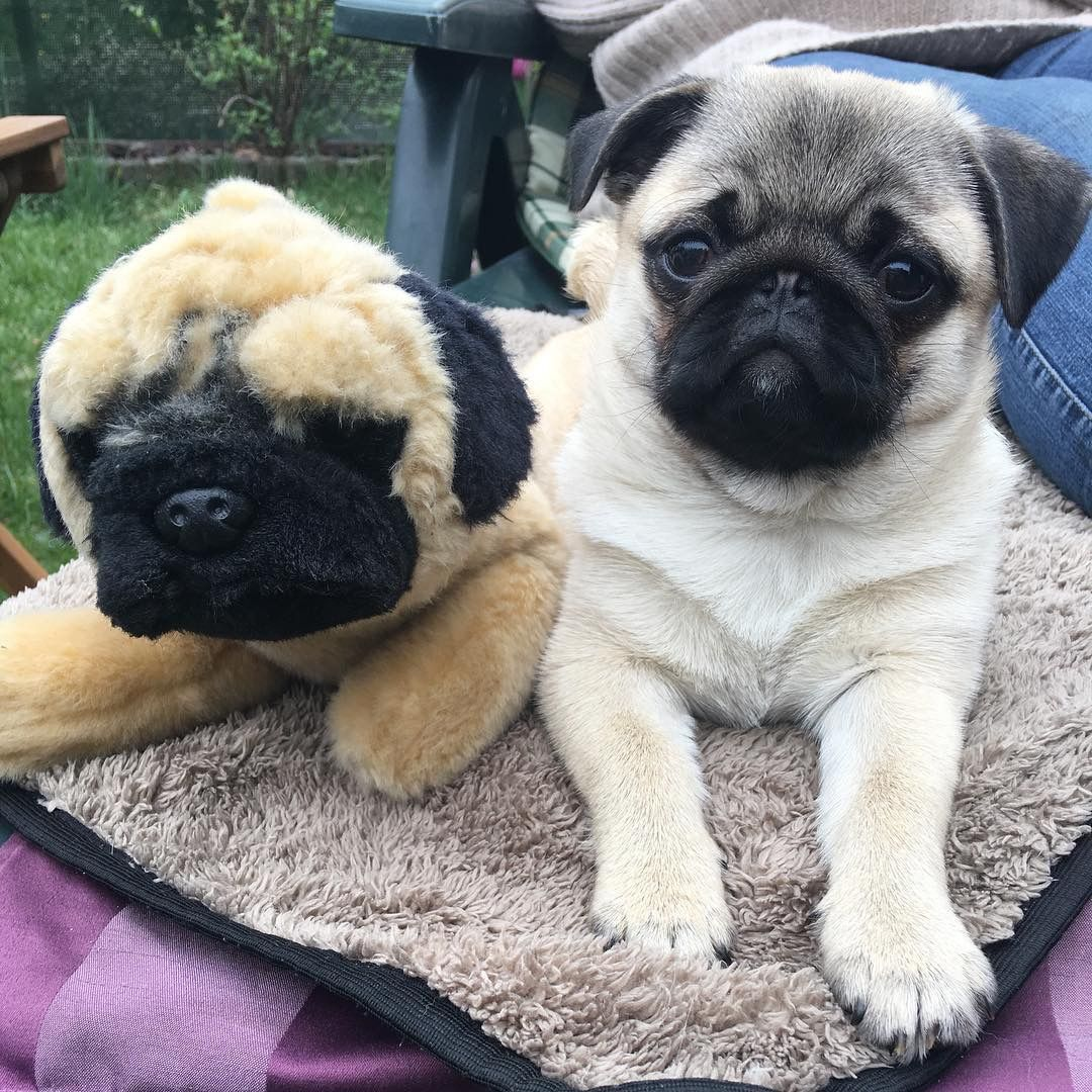 Pin By Helen Britt On Dogs Pugs Cute Baby Animals Cute Pugs