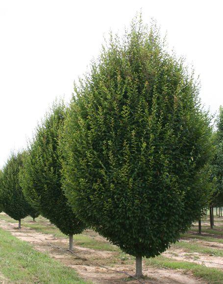 Pyramidal European Hornbeam Trees Carpinus Betulus â Fastigiata Tree Moon Nurseries