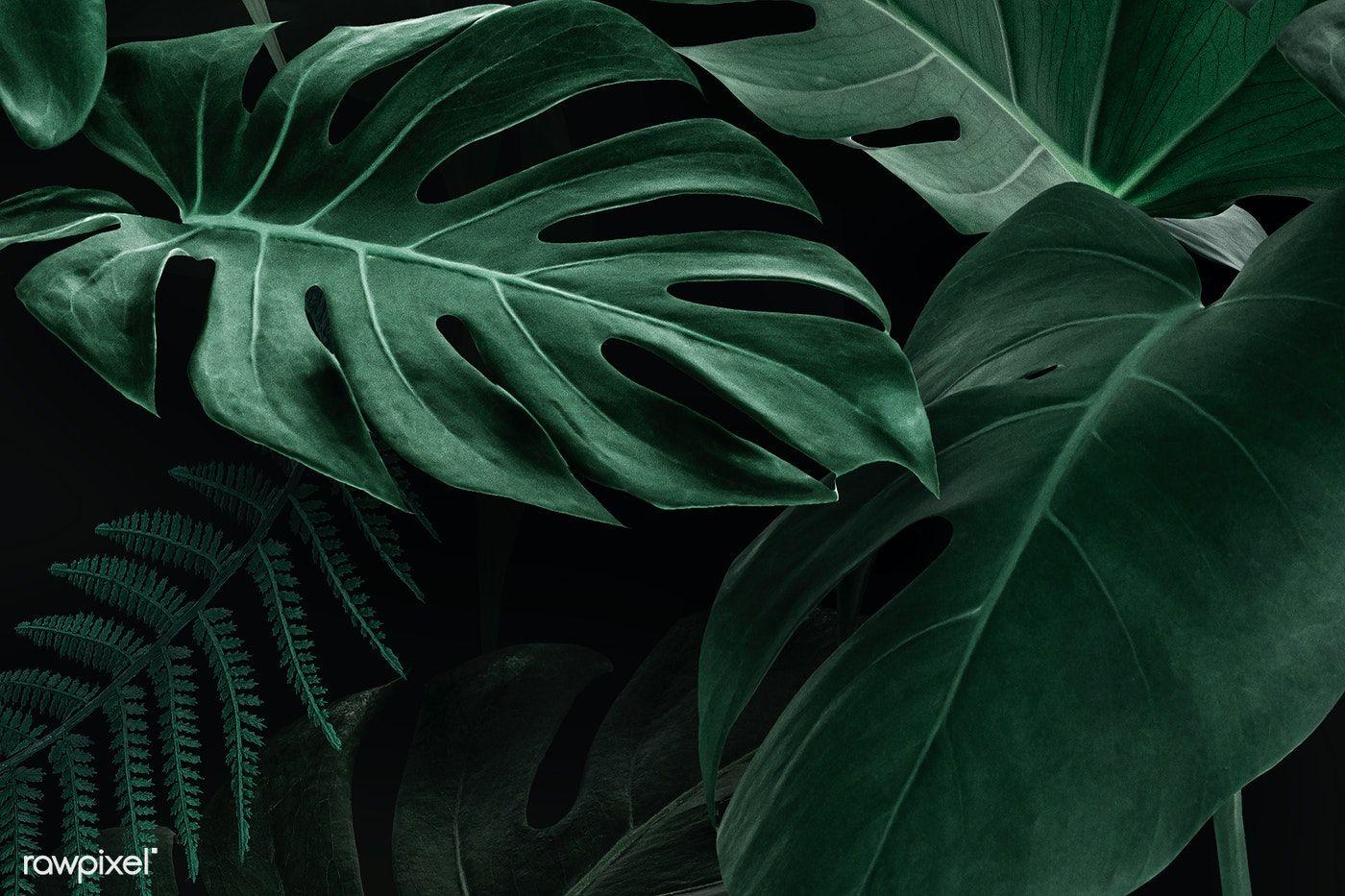 Download Premium Illustration Of Fresh Natural Green Monstera Deliciosa