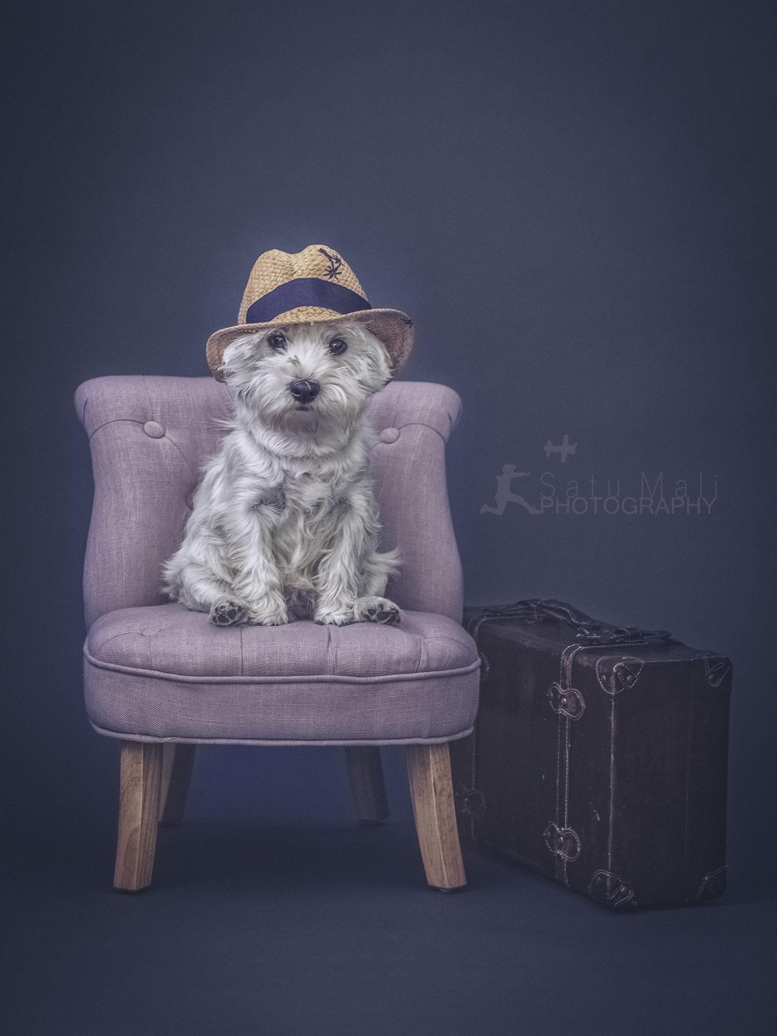 Traveller #westie #dog #dogs