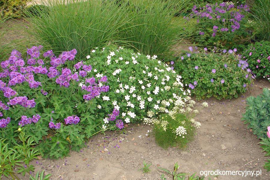 geranium sanguineum 39 album 39 google search pnw plants pinterest geranium sanguineum. Black Bedroom Furniture Sets. Home Design Ideas