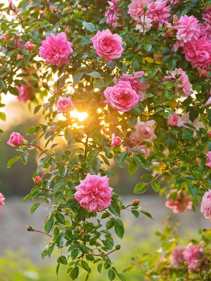 розовый сад картинки сделать это