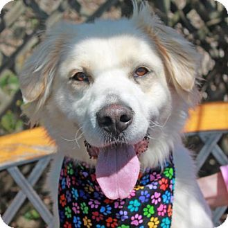 Great Pyrenees Border Collie Mix Dog For Adoption In Garfield Heights Ohio Beauty Kitten Adoption Dog Adoption Border Collie Mix
