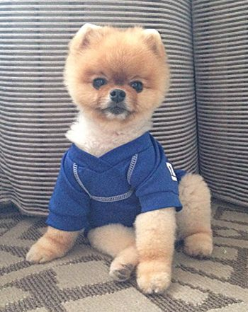 Katy Perry Kevin Hart Love Jiff The Pom Meet Instagrams Cutest - Jiff the pomeranian is easily the best dressed model on instagram