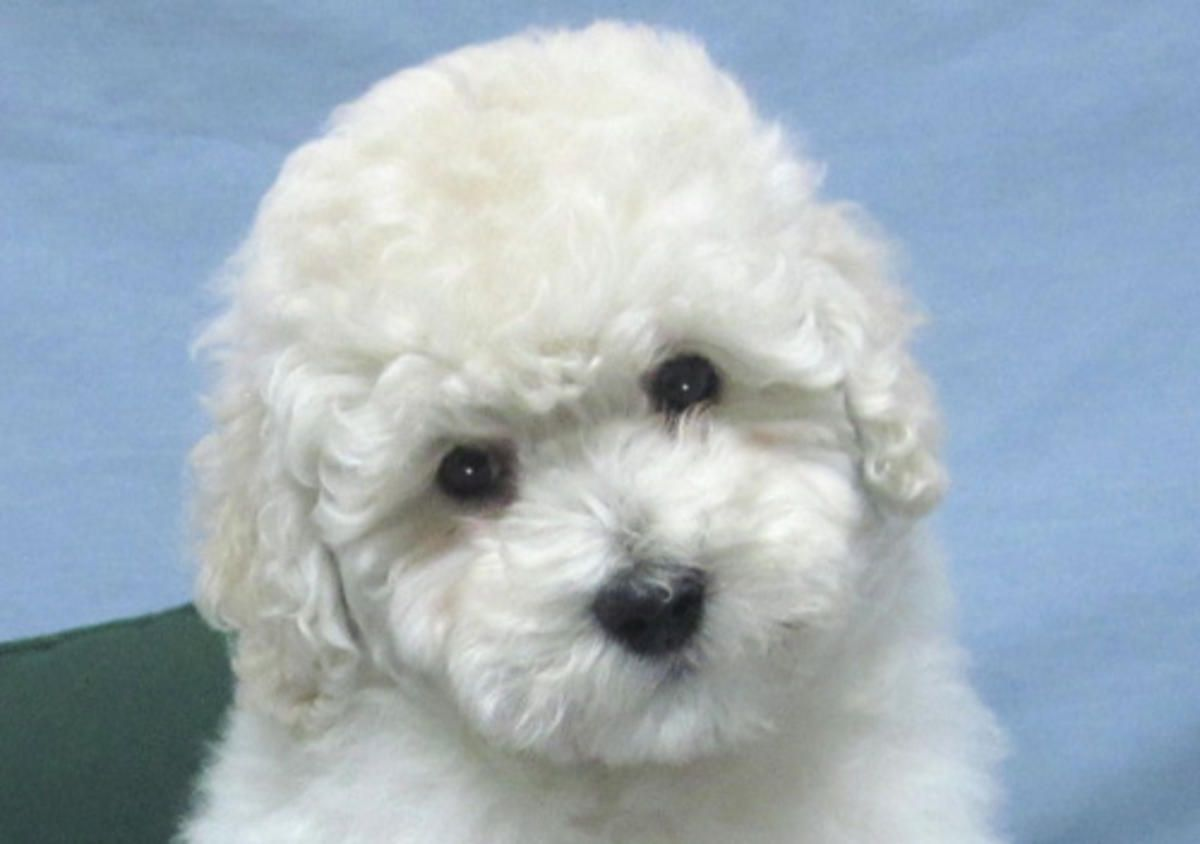 Teddy Bear Poodle Breeder Housebroken Puppies Ready To Go In