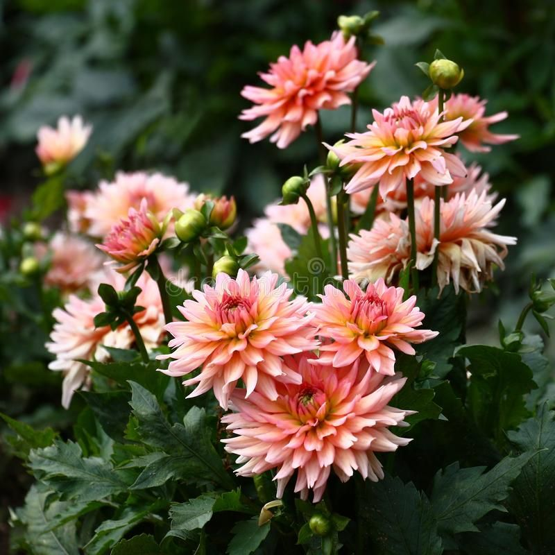 The Blossoming Bush Dahlias In A Flower Bed A Considerable Quantity Of Flowers Sponsored Flower Bed Considerable B In 2020 Dahlia Flower Dahlia Flower Beds