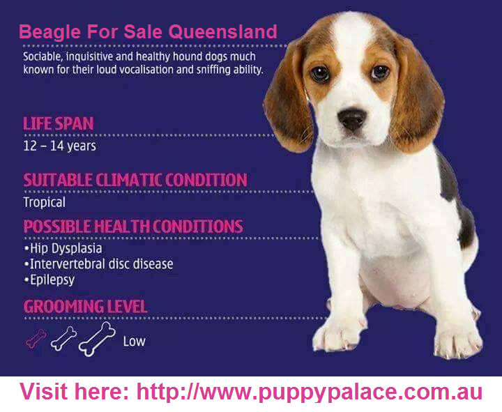 Beagliers Are Big Dogs With A Height Of Around 12 To 16 Inches And Weigh Nearly 4 5 Pounds To 11 5 Pounds The Puppyplace Beagles For Sale Dog Health Hound Dog