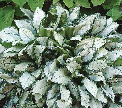 Zone 7 perennials landscaping pinterest white flower farm zone 7 perennials mightylinksfo