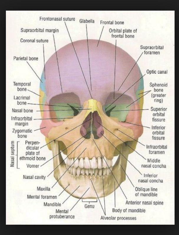 Anterior view   Anatomy & physiology Some Bio Medical   Pinterest