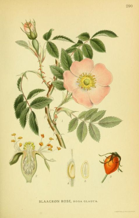Rosa glauca.Illustration taken from 'Billeder af Nordens Flora' by A. Mentz and C. H. Ostenfeld. Published 1917 by G.E.C. Gad's Forlag.The LuEsther T Mertz Library, the New York Botanical Garden Biodiversity Heritage Library. archive.org