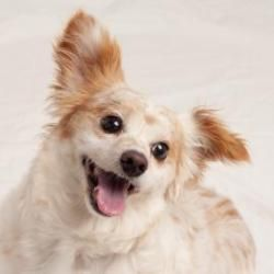 Darla is an adoptable Spaniel Dog in San Francisco, CA. Spend a minute with Darla and she will roll over and beg you for belly rubs. This affectionate, amazingly soft little lovebug just wants to show...