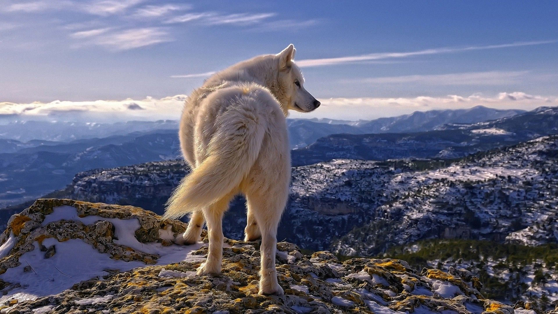 White Wolf Wallpapers Desktop All Wallpaper Desktop