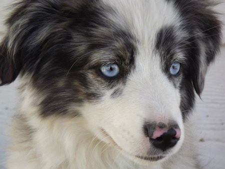 Close Up Head Shot A Blue Eyed White With Black And Brown Miniature Australian Miniature Australian Shepherd Australian Shepherd Puppies Australian Shepherd