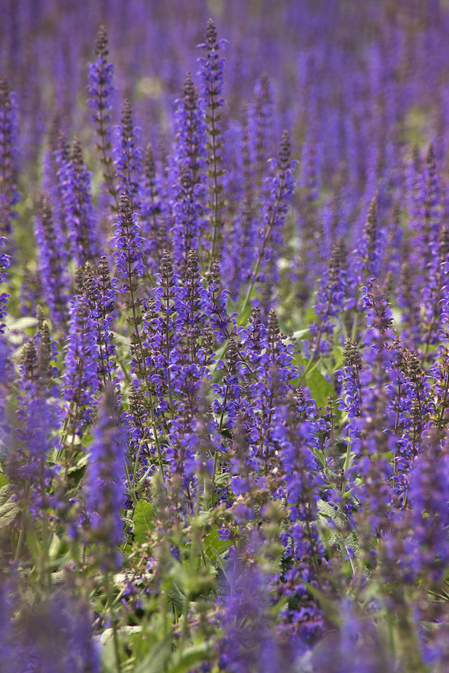 May Night Salvia Tall Spikes Of Indigo Blue Flowers Top Compact